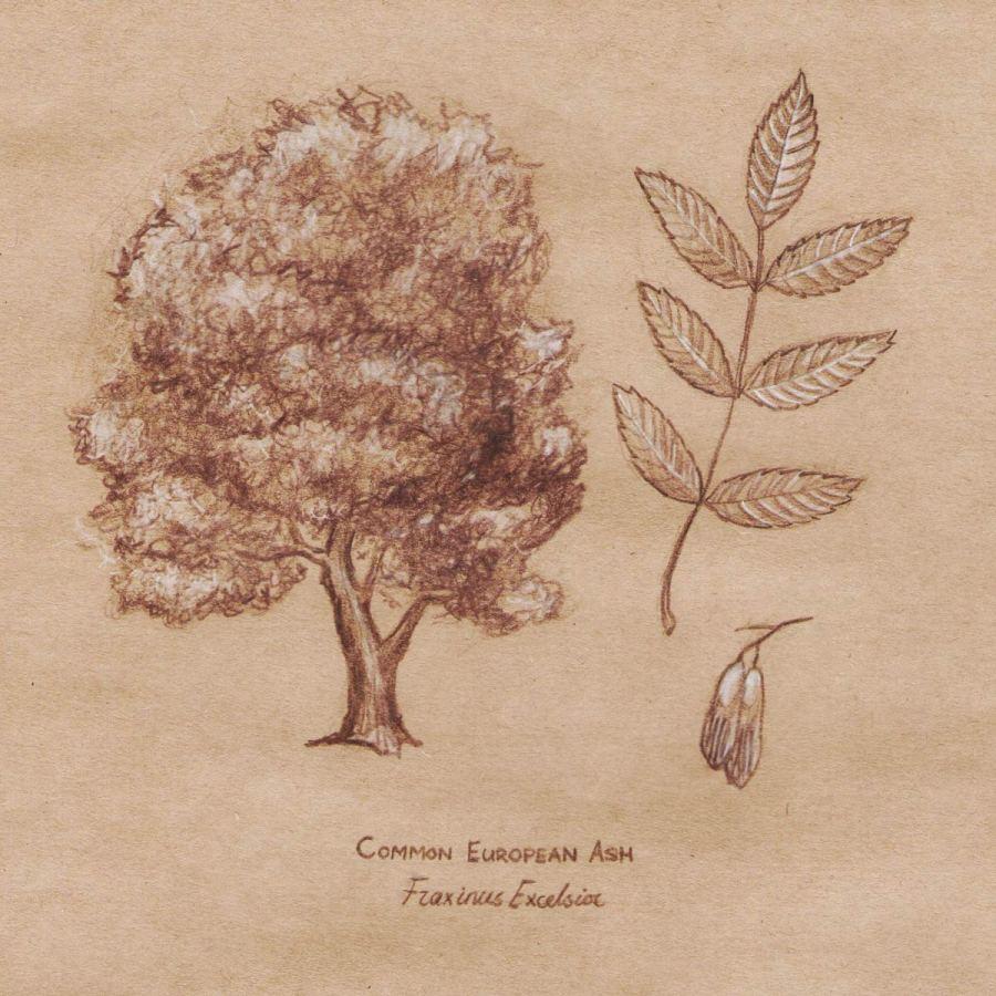 Ash tree sketch by Summer Rain
